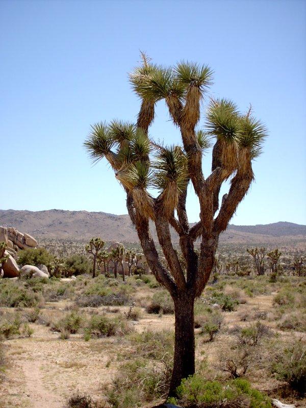'Joshua Tree picture taken by Joel Bornzin