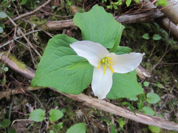 Mt Defiance Trail 413 Flower Picture taken by Joel Bornzin