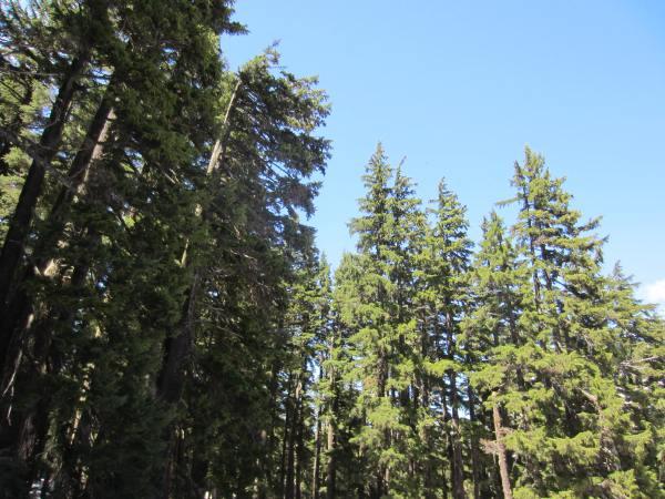 Three Sisters Wilderness Forest Picture Taken by Joel Bornzin