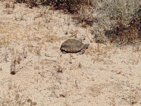 Desert Tortoise - Boy Scout Trail - Joshua Tree