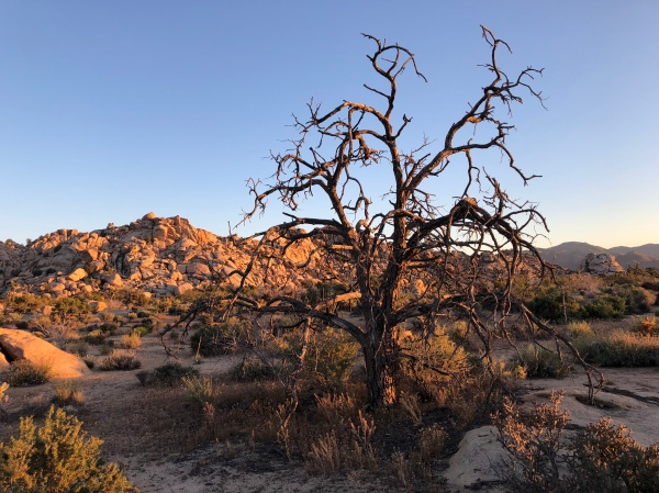 Burned out tree on the Wonderland of Rocks Trail - Joshua Tree - May 2019