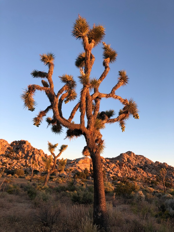 Joshua Trees on the Boy Scout Trail to Willow Hole - Wonderland of Rocks - May 2019
