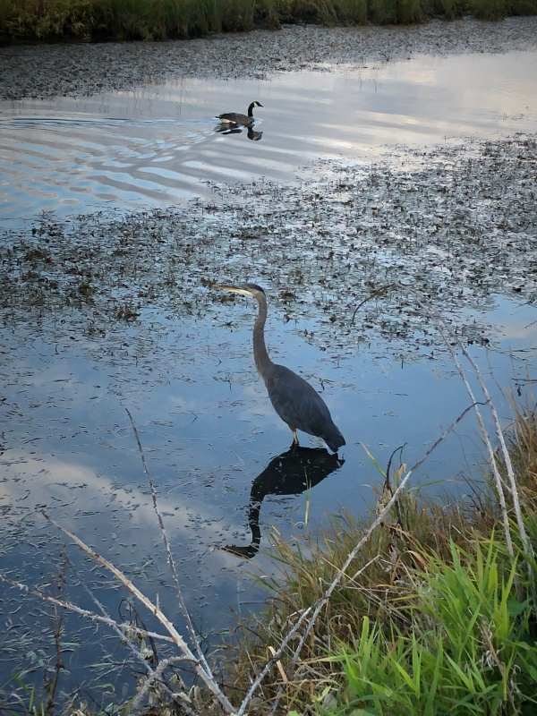 Heron on the refuge